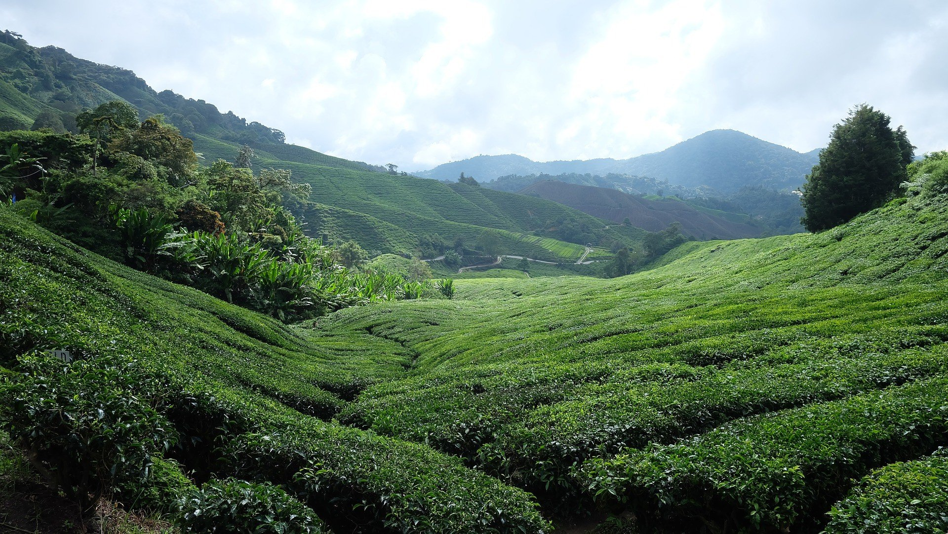 Tea is grown in the Cameron Highlands