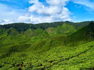 Tea plantation in the Cameron Valley near Tanah Rata